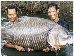 Beberapa jenis Ikan Mas Raksasa yang pernah ditemukan,